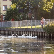 Feeding swans at Saltmead